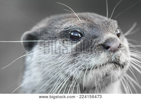 Wildlife and animals, a face portrait image close up of an otter