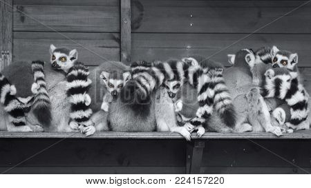 Wildlife and animals, a group of Ring tailed lemur monkeys huddled up together