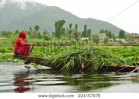 SRINAGAR, JAMMU AND KASHMIR, INDIA - 21 JUNE 2017: Woman transporting grass by the traditional boat on the lake Dal in India