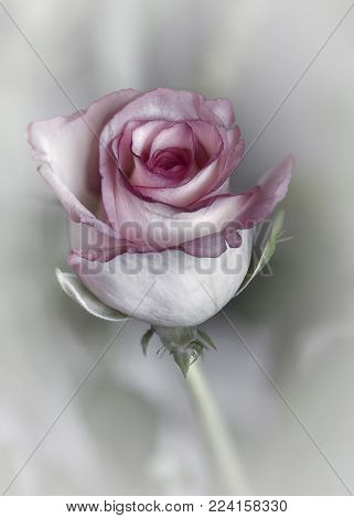 Nature, close up of a single pink rose blossoming flower