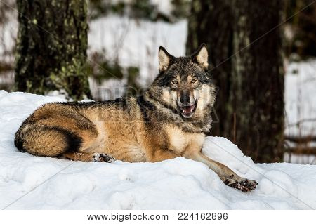 Grey wolf, Canis lupus, lying down in harmony, in a snowy winter forest. Also known as timber wolf or timberwolf. Captive animals in Dyreparken, Kristiansand, Norway