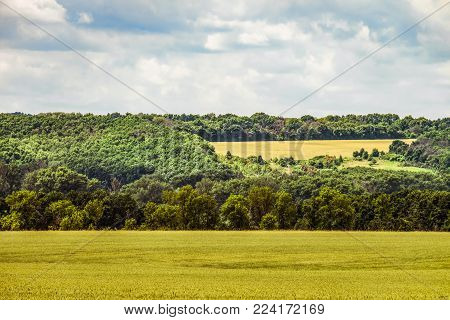 Countryside landscape with greens of ripening wheat field. Cereal field and green hill with forest on the horizon. Belgorod region, Russia.