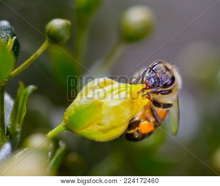 A Honeybee native to Arizona trying to suck nectar from the flower of a Creosote Bush that has not opened yet.