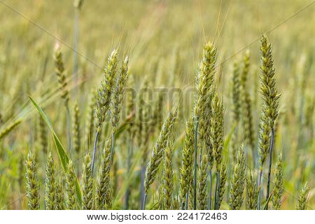 Greens of ripening wheat ears. Agricultural plantation background with limited depth of field. Close-up of cereal field.