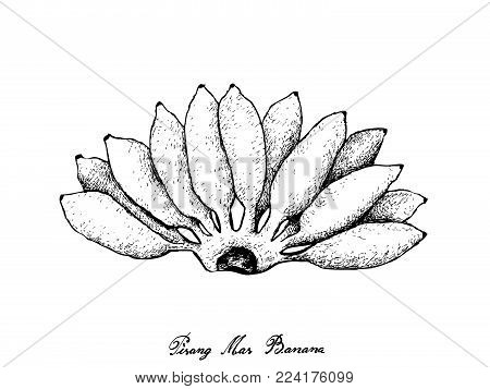 Fruit, Illustration Hand Drawn Sketch of Fresh Ripe and Sweet Pisang Mas Banana Isolated on A White Background.