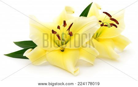 Two yellow lilies isolated on a white background.