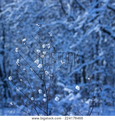 snow covered the winter plant with small lumps on a blurred background of trees