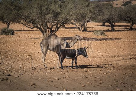 A donkey and dromedary camel standing in an argan orchard in Morocco, Africa