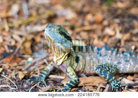 Colorful Australian Eastern Water Dragon With Focus On Eyes