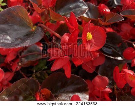 A Purple Crinum Lily (crinum Asiaticum)