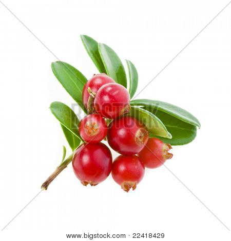 fresh cowberry isolated on white
