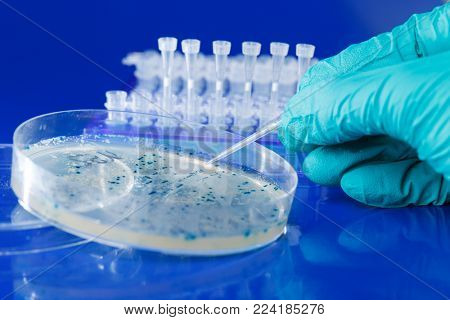 Scientist hand  picks up bacterial colonies for cloning of transgenic vector into plasmid DNA