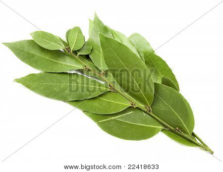 branch of bay laurel leaves isolated on white