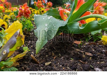 Close-up of a Flower Bed. Gardening. Raindrops on a green Leaf of a Flower. Plants and Flowers.