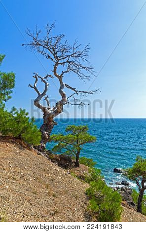 Dead relic pine on a steep seashore. Sunny summer day. Karaul-Oba, Novyy Svet, Crimea.