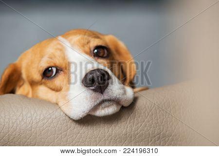 Dreaming beagle dog close-up. Beagle dog head with sad eyes.
