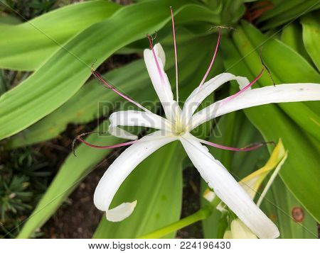 Giant White Spider Lily - Crinum asiaticum (poison bulb, giant crinum lily, grand crinum lily, spider lily)
