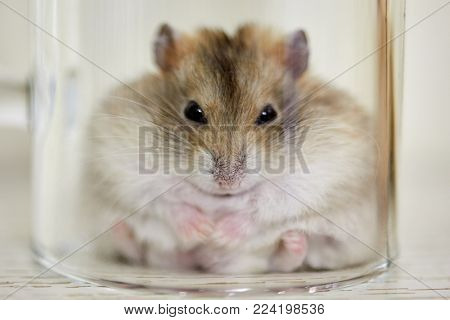 Fluffy golden hamster covered with glass jar sits on the surface of the table .
