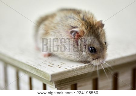 Fluffy golden hamster sits on the edge of the table, shallow dof.