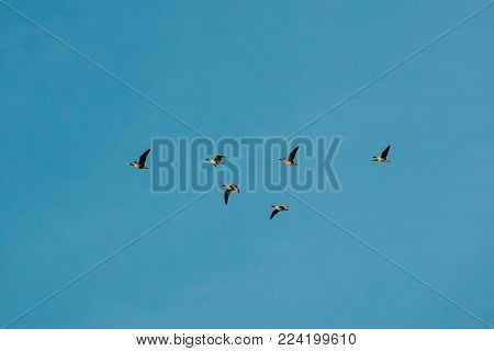 Flock Of Ducks Flies In V-formation Flying In Sunny Blue Autumn Or Spring Sky.