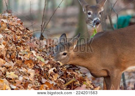 A white-tailed deer is seen in the woods during the autumn season.