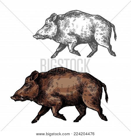 Boar wild animal vector sketch icon. Wild aper swine or pig hog side view symbol for wildlife fauna and zoology or hunting sport team trophy symbol and nature zoo adventure club design