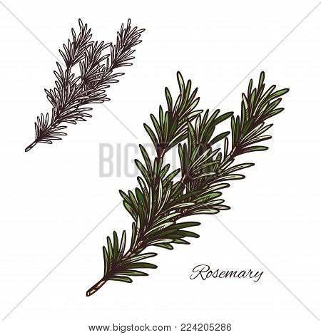 rosemary seasoning spice herb sketch icon. Vector isolated rosemary herb plant for culinary cuisine cooking or flavoring herbal seasoning ingredient or grocery store and market design