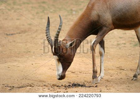 A blesbok antelope (Damaliscus pygargus)