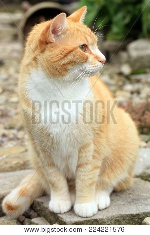 Young Ginger Cat Observes The Hunting Ground