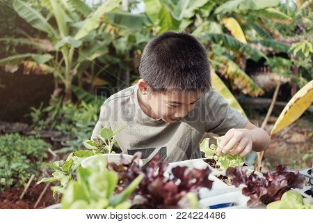 Young tween asian boy picking lettuce in reuse old plastic containers, eco, reuse, montessori education, homeschool concept