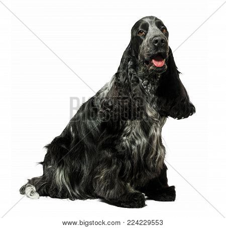 English cocker spaniel dog sitting isolated on white