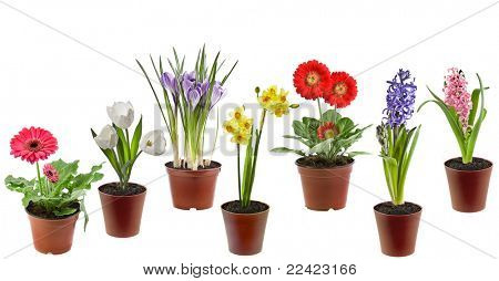 Spring flowers  in the pot isolated on a white background