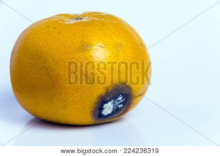 Ruined Citrus Rotten fruit of mandarin lies on a white background. Moldy wound on Ripe orange tangerine. Copy space. Close-up.