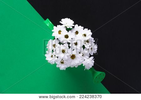 Daisies bouquet on a green and black background - Lovely spring concept with a bouquet of white delicate daisies in a green watering can on a green and black background.