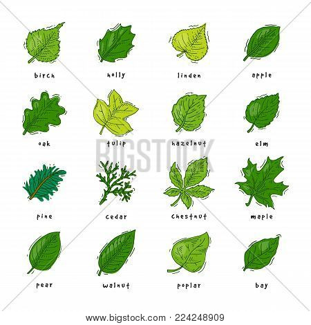 Leaf vector green leaves of trees leafed oak and leafy maple or leafing foliage illustration of leafage in spring set with leafage isolated on white background.