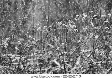 Dry branches of a burdock with prickles during snowfall in the winter in black-and-white style