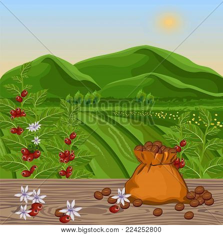 Coffee beans growing in farm. harvest fields Vector illustration