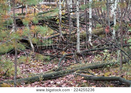 Windfalls and windbreaks in a coniferous forest after a severe storm