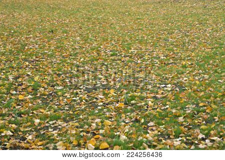 Fallen yellow autumn leaves on ground. Patch of fresh green grass in focus in foreground. Beautiful fall park. Season  Selective focus. Shallow DOF, shallow depth of field