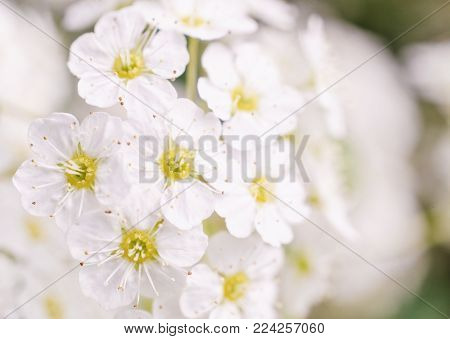 Soft focus white spring flowers in the sunlight as a floral background (very shallow DOF, selective focus), copy space on the right