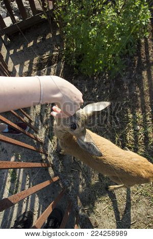 Young deer roe baby. Human feed a roe from his hand. Farm