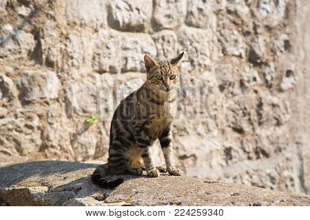The cat sitting full-length on the street of the old city looking into the distance on the background of the stone walls. A homeless cat in town Kotor, in Montenegro
