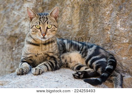 Beautiful Tabby cat lying on stone surface on the street of city looking straight into the camera on the background of the stone walls. Cat walking on its own in town Kotor, in Montenegro, Europe