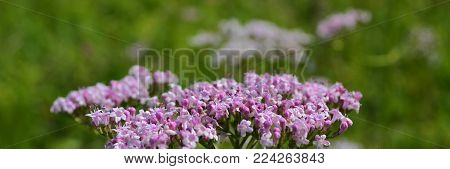 Valerian, Valerian (lat. Valeri?na) is a genus of perennial herbaceous plants of the subfamily Valerian (Valerianoideae)[2] of the family Caprifoliaceae (Caprifoliaceae). The most famous species -- Valeriana officinalis (Valeriana officinalis L.), widely