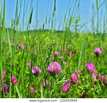 Clover (lat. Also) is a genus of plants of the Legume family (Fabaceae), subfamily of Fabaceae (Faboideae). Clover is considered a valuable medicinal herb because it has many nutrients that are beneficial to the human body. Blue sky over the meadow.