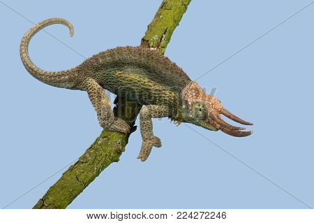 Jackson's Chameleon (Trioceros jacksonii) climbing tree branch
