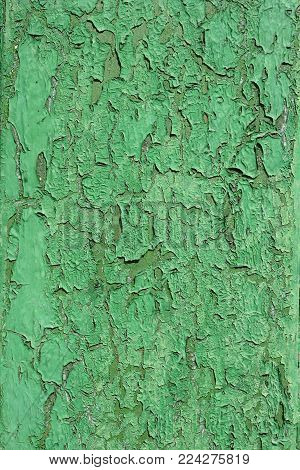 Green old shabby wood wall. The Green texture of the old shabby wood wall.