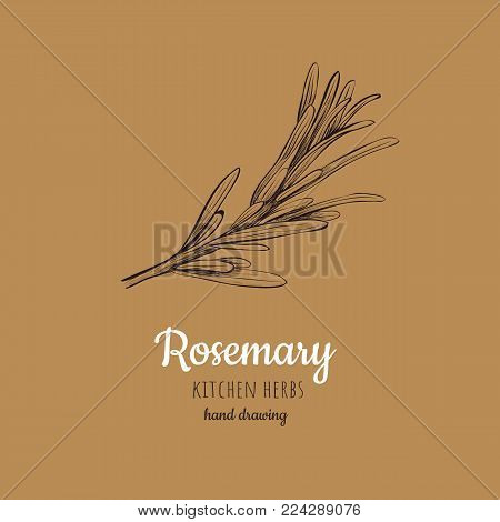 Rosemary vector illustration. Herbs and spices rosemary