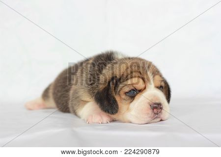 An Adorable Tricolor Beagle Is Lay Down In Front Of An Isolate White Background Which Has Copy Space