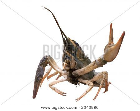 Crayfish With Cocked Hand